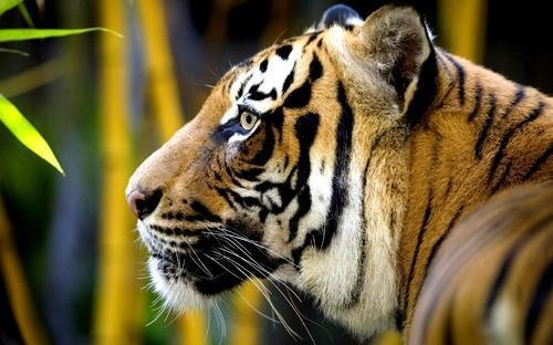 Tiger Safari